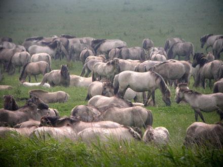 friese paard zuid nederland